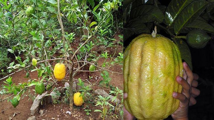 buah jerpaya