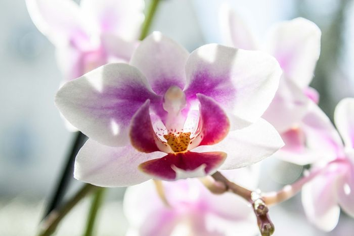 Anggrek phalaenopsis