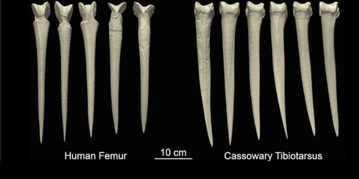 Belati tulang paha manusia di banding tulang burung kasuari