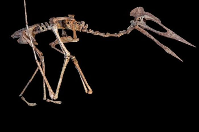 Reconstruction of the skeleton of a flying reptile known as Dracula, a giant azhdarchoid pterosaur.