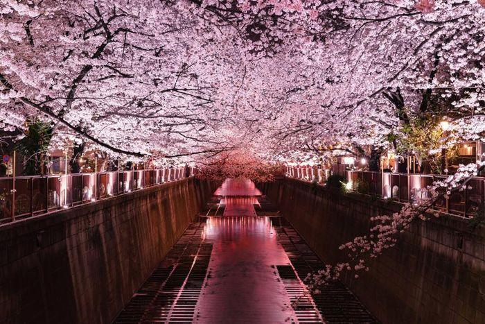 Di Sungai Meguro, Jepang, bunga sakura berwarna merah jambu tercermin di permukan sungai. Lokasi ini terkenal sebagai salah satu tempat terbaik untuk menyaksikan berseminya bunga sakura.