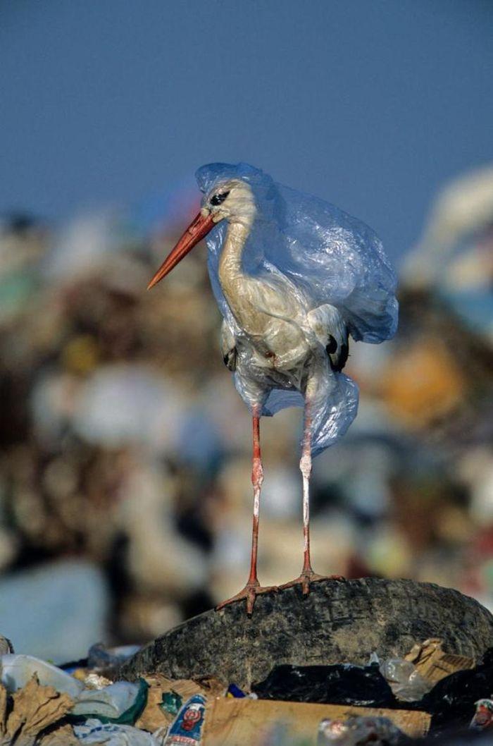 Sang fotografer membebaskan bangau ini dari kantong plastik di tempat pembuangan sampah di Spanyol.