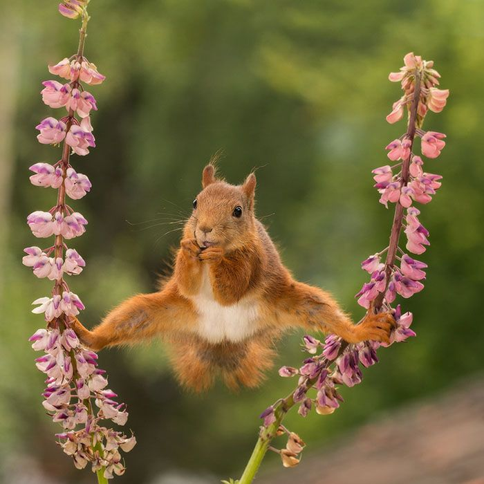 *** EXCLUSIVE ***BISPGARDEN, SWEDEN - 2016: Pictured wild red squirrel in a split between lupines in Bispgarden, Sweden.SPRING has sprung back into action and so have the 2018 Comedy Wildlife Photography Awards - here are the best entries so far. Two dancing polar bears by Luca Venturi have made the cut, along with an ant that's bitten off a little more than it can chew, shot by Muhammed Faishol Husni. The awards were founded by Tom Sullam and Paul Joynson-Hicks MBE, and aim to raise awareness of wildlife conservation through the power of laughter. The duo are part of a panel of judges, which also includes wildlife TV presenter Kate Humble, actor and comedian Hugh Dennis, wildlife photographer Will Burrard-Lucas, wildlife expert Will Travers OBCE, the Telegraphs online travel editor Oliver Smith and new 2018 judge the Managing Director of Affinity, Ashley Hewson. It?s not too late to enter your own hilarious photograph into the competition, and entries are free. Entrants can submit up to three images into each category and up to two video clips of no more than 60 seconds into the video clip category. The overall winner will be named the 2018 Comedy Wildlife Photographer of the Year and win a one week safari with Alex Walker's Serian - and there plenty of other fantastic prizes up for grabs for runners up. The competition is open to the public, with the deadline on 30th June 2018.******Editors Note - Condition of Usage: These photos must be used in conjunction with the competition Comedy Wildlife Photography Competition 2018***** PHOTOGRAPH BY Geert Weggen / CWPA / Barcroft Images
