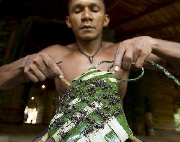 Semut peluru ditenun membtuk sarung tangan menggunakan daun.