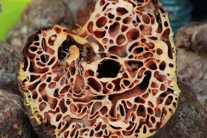 Sarang semut Myrmrcodia pendans.