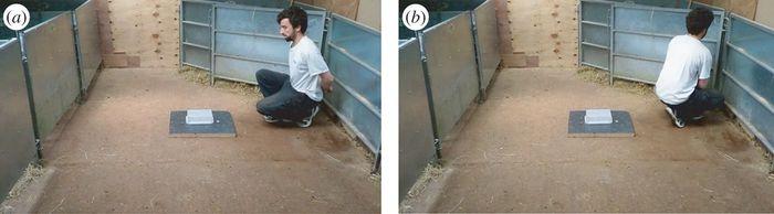 Penelitian yang dilakukan untuk memahami sifat kambing