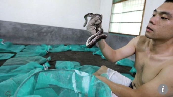 Fang mengambil ular yang sedang hamil dari karung jaring. Scmp.com