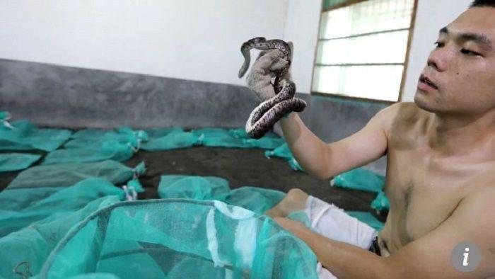 Fang mengambil ular yang sedang hamil dari karung jaring.