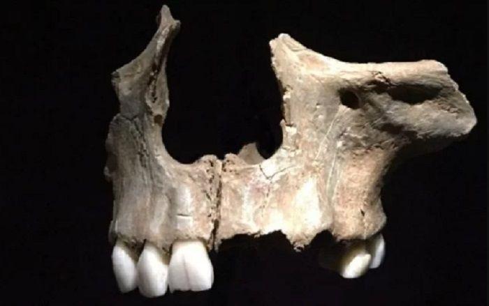 Tengkorak ini memiliki bekas luka di dekat gigi, diyakini sebagai bukti adanya kanibalisme