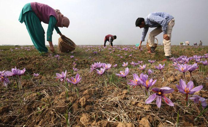 Ladang saffron dari bunga crocus sativus linneaus.