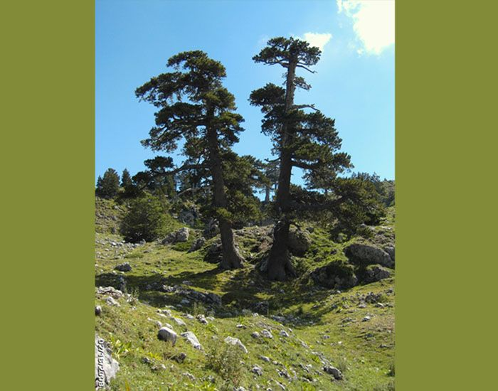 Ini pohon pinus heldreichii yang masih segar, belum tua. Cantik, ya!