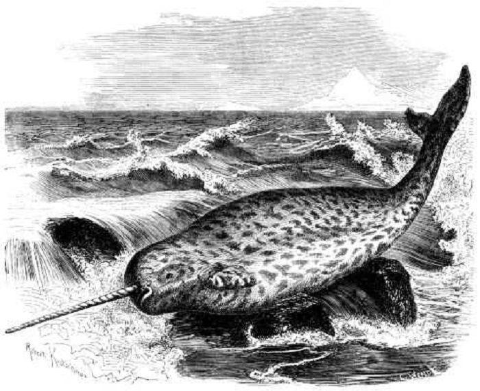 Gambar narwhale