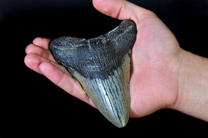 Gigi megalodon yang ditemukan peneliti.