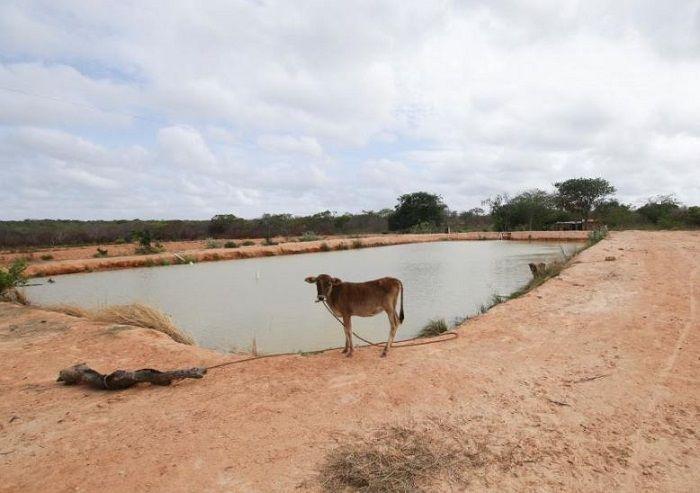 Seekor sapi berdiri di samping kolam peternakan ikan yang ditinggalkan dekat Atapirire.