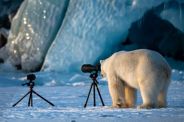 Pose lucu Beruang Kutub - The Comedy Wildlife Photography Awards
