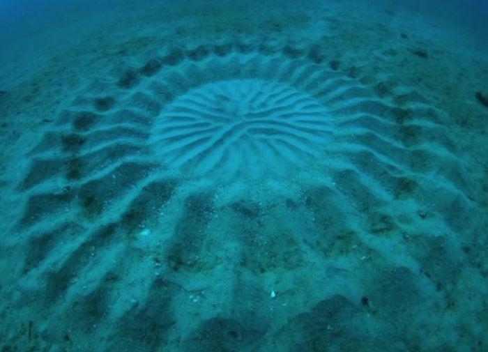 Lingkaran indah yang dibuat ikan buntal.