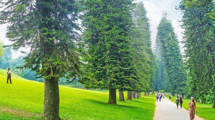 Pinus Cook yang selalu miring menghadap ke arah khatulistiwa
