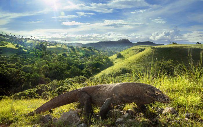 Komodo menjadi salah satu ciri khas kekayaan fauna Indonesia.