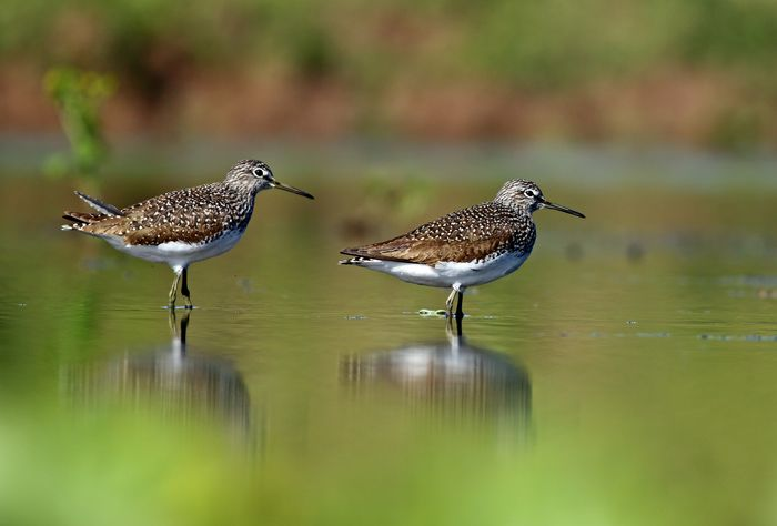 Burung Green Sand piper.