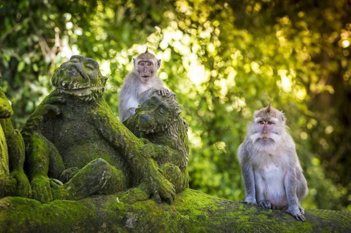 Monyet-monyet di Ubud Monkey Forest.