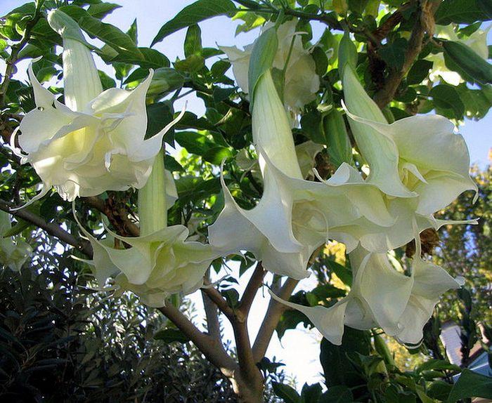 bunga terompet