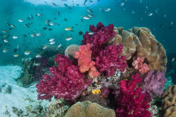 Terumbu karang warna-warni di bawah laut Raja Ampat.