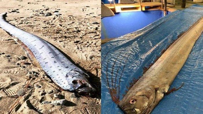 Dipercaya Pertanda Bencana, Munculnya Oarfish ke Permukaan Laut Bikin Warga Jepang Cemas!