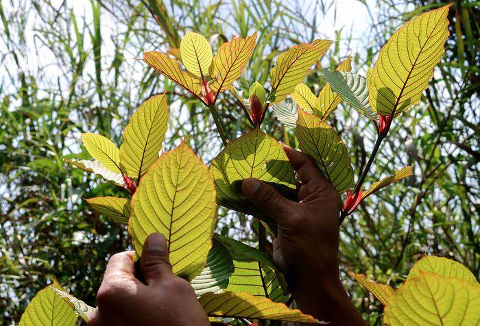 Penanam kratom, Gusti Prabu, saat merawat tanaman kratom miliknya di sebuah perkebunan di Pontianak, Kalimantan Barat, Selasa (25/12/2018).  Masyarakat penanam kratom mendesak ketegasan Pemerintah terkait legalitas tanaman tersebut yang diketahui memiliki nilai ekonomi karena khasiatnya sebagai obat