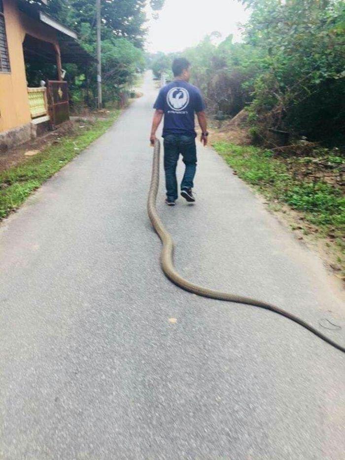 Aksi Hamdan si raja ular menangkap ular raksasa dengan satu tangan.