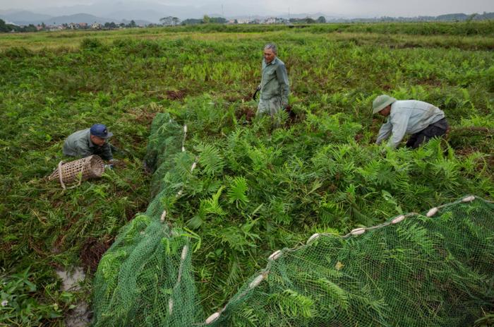 Para petani Vietnam memasang perangkap untuk tikus.