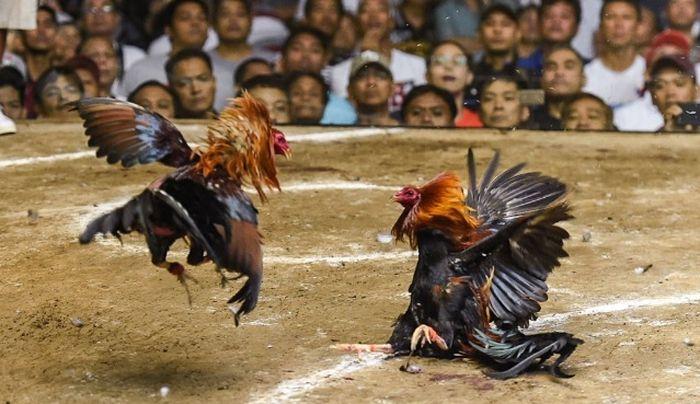 Pernah Lihat Adu Ayam? Ternyata Sabung Ayam Juga Populer di Filipina Bahkan Disebut Industri Miliaran Dolar
