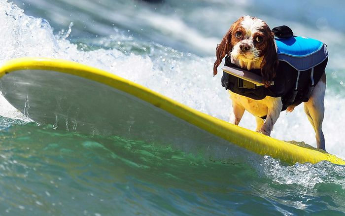 A dog rides a wave while competing during the 5th Annual Surf Dog competition at Huntington Beach, California, on September 29, 2013.  AFP PHOTO/Frederic J. BROWN        (Photo credit should read FREDERIC J. BROWN/AFP/Getty Images)