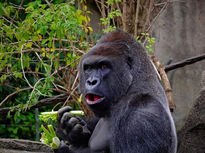 Ilustrasi Gorila