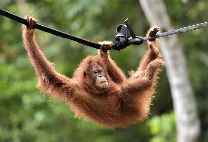 Orangutan Sumatera (Pongo abelli) Reipok Rere bergelantungan di kawasan hutan reintroduksi cagar Alam Jantho, Aceh Besar, Aceh, Selasa (18/6/2019). Dua orangutan Sumatera, Reipok Rere dan Elaine, menghabiskan hampir dua tahun untuk belajar mengurus diri di pusat rehabilitasi dan forest school.