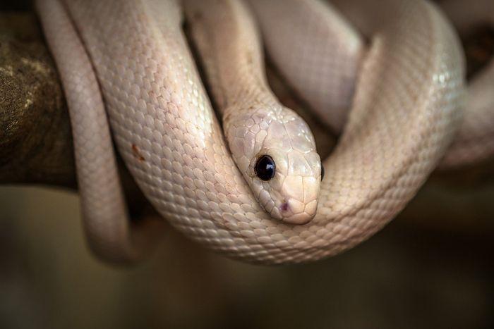 ilustrasi ular putih