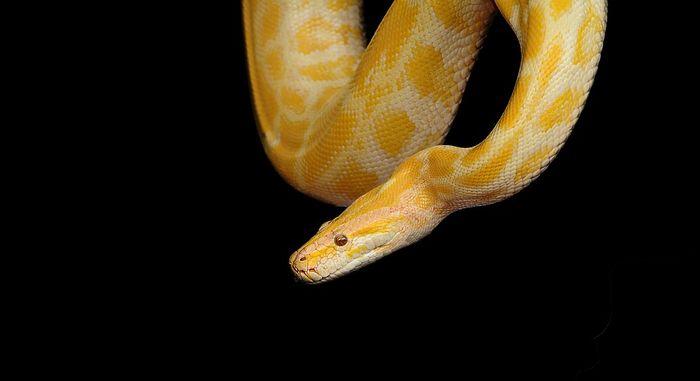 ilustrasi ular besar