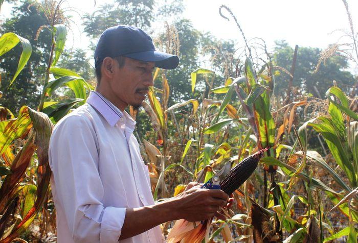 Luki Lukmanul Hakim (45), petani asal Cianjur, Jawa Barat memerlihatkan jagung pelangi yang berhasil dibudidayakanny, Sabtu (22/6/2019). Varian  Jagung yang sedang menjadi tren di Eropa dan Amerika Latin ini memiliki harga yang cukup tinggi, di tingkat petani harganya mencapai Rp 8.000 hingga Rp 9.0