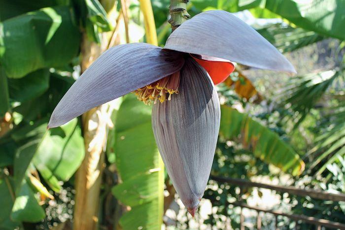 Bunga pisang atau jantung pisang.