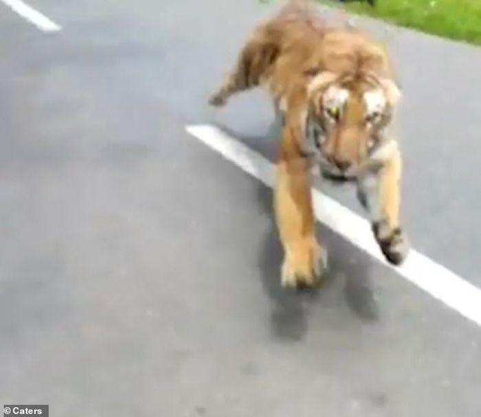 Sosok harimau keluar dari hutan hampir menerkam pengendara bermotor.