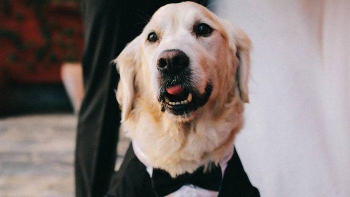 Ilustrasi anjing Golden Retriver