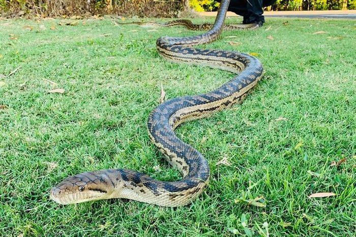 Mimpi ular makan kambing togel
