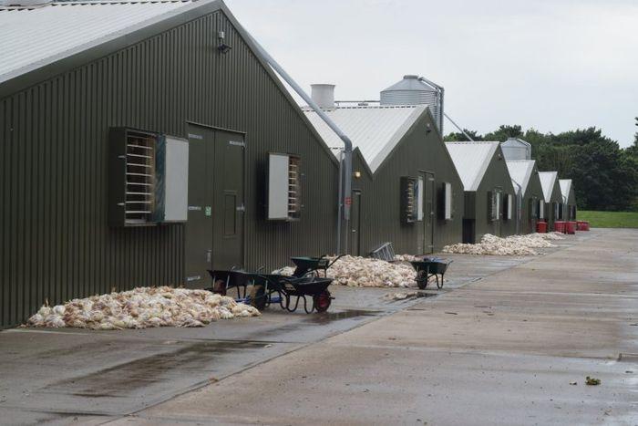 Ribuan ayam mati terpanggang karena gelombang panas di Inggris.
