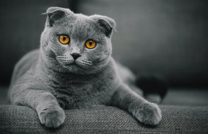 Jenis kucing termahal di dunia