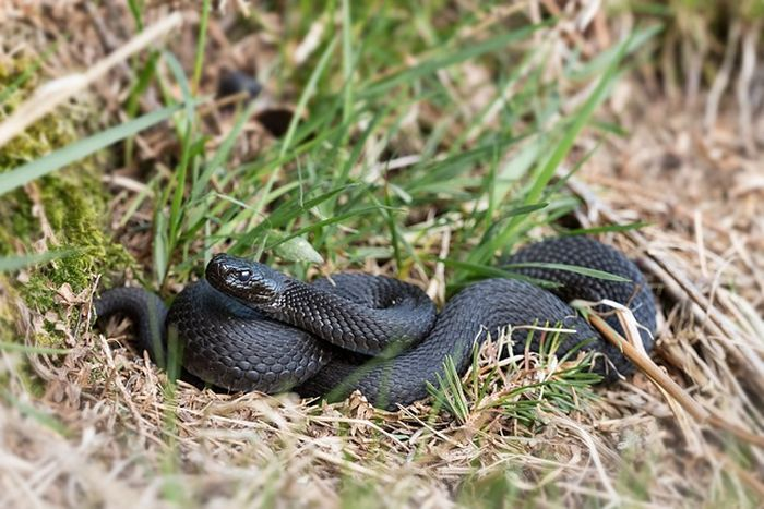 Ilustrasi ular hitam