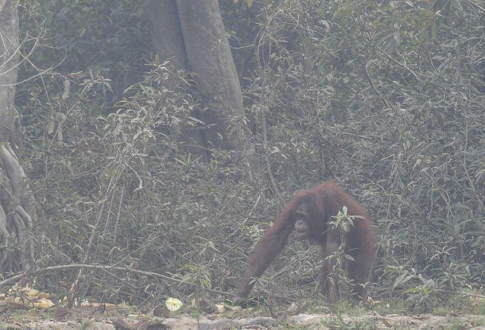 Seekor orangutan (Pongo pygmaeus) berada di lokasi pra-pelepasliaran di Pulau Kaja, Sei Gohong, Palangkaraya, Kalimantan Tengah, Kamis (19/9/2019). Sebanyak 37 orangutan yang dirawat di pusat rehabilitasi Yayasan BOS (Borneo Orangutan Survival) di Nyaru Menteng, Palangkaraya, terjangkit infeksi salu