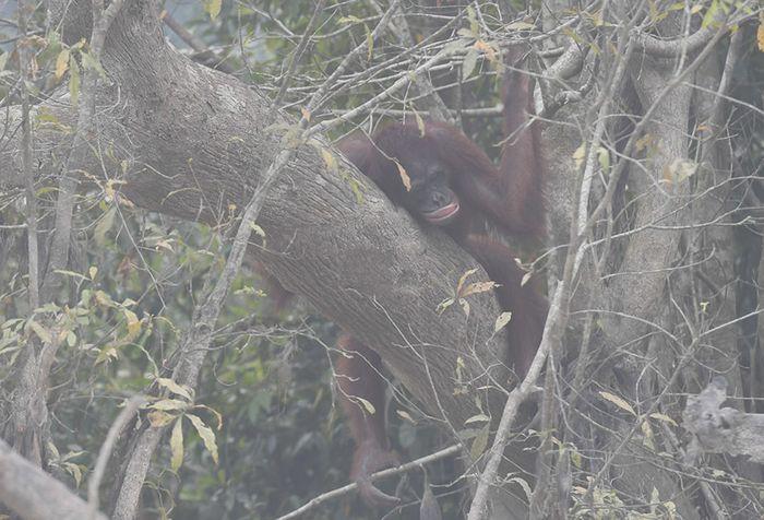 Seekor orang utan (Pongo pygmaeus) berada di lokasi pra-pelepasliaran di Pulau Kaja, Sei Gohong, Palangka Raya, Kalimantan Tengah, Kamis (19/9/2019). Sebanyak 37 orang utan yang dirawat di pusat rehabilitasi Yayasan BOS (Borneo Orangutan Survival) di Nyaru Menteng, Palangka Raya, terjangkit infeksi