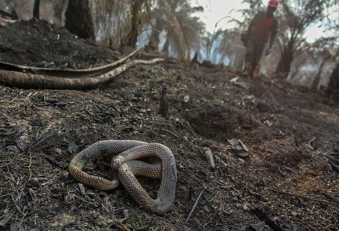 Seekor ular ditemukan mati di lokasi kebakaran lahan gambut di perkebunan sawit milik warga di Kecamatan Rumbai, Pekanbaru, Riau, Rabu (4/9/2019). Satgas Karhutla Riau terus berupaya melakukan pemadaman kebakaran lahan agar tidak semakin meluas.
