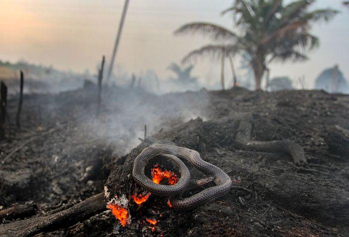 Seekor ular ditemukan mati di area perkebunan nanas milik warga yang terbakar akibat kebakaran lahan gambut yang meluas di Pekanbaru, Riau, Senin (7/10/2019). Kencangnya angin di lokasi lahan yang terbakar membuat api dengan cepat meluas sehingga petugas kesulitan untuk memadamkan kebakaran di kawas