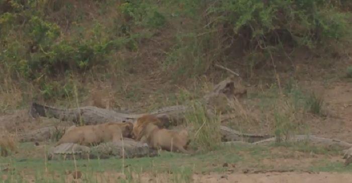 Singa makan dengan santai dikelilingi oleh sembilan buaya lapar