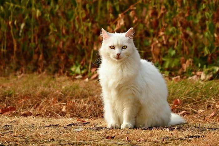 Ilustrasi kucing putih